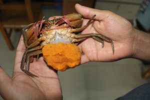 Underside of crab. Artificial hatcheries have started producing crabs for the first time in Bangladesh.