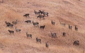 The IUCN status Hangul Kashmir stag