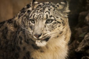 Snow leopard, Pakistan. Image source: Jameel Ahmed, Walkabout films/ U.S. Embassy