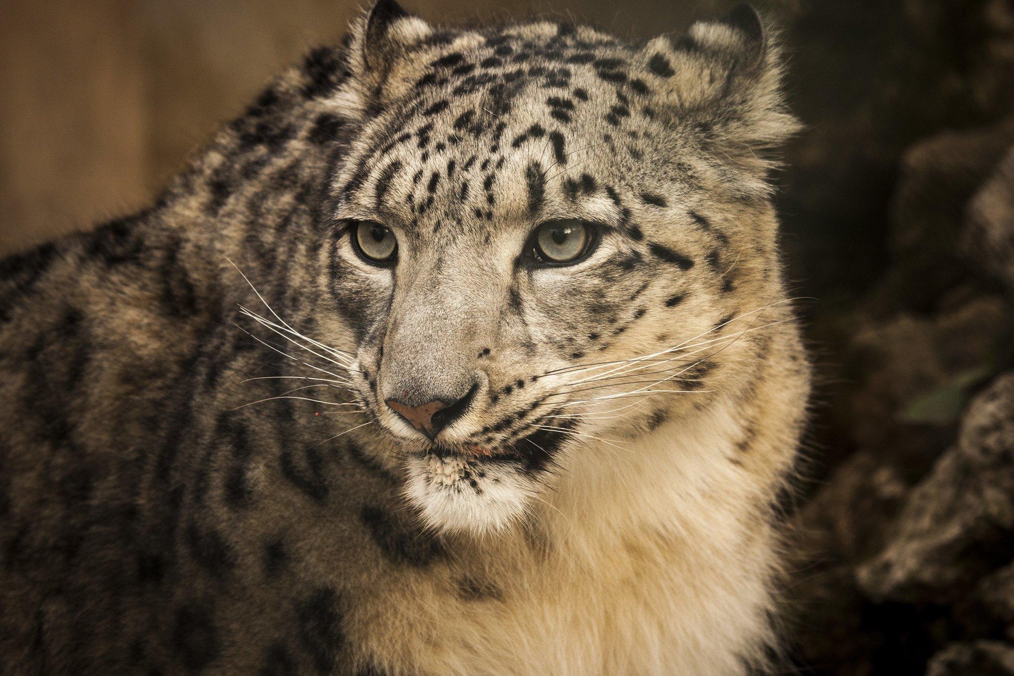 Snow leopard, Pakistan. Image source: Jameel Ahmed, Walkabout films/ U.S. Embassy