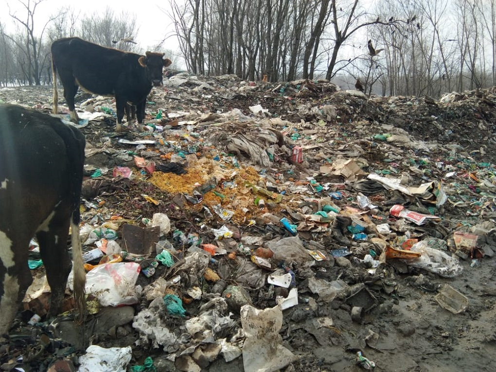 Cows next to the trash dump next to Wular Lake [image by: Raja Muzaffar Bhat]