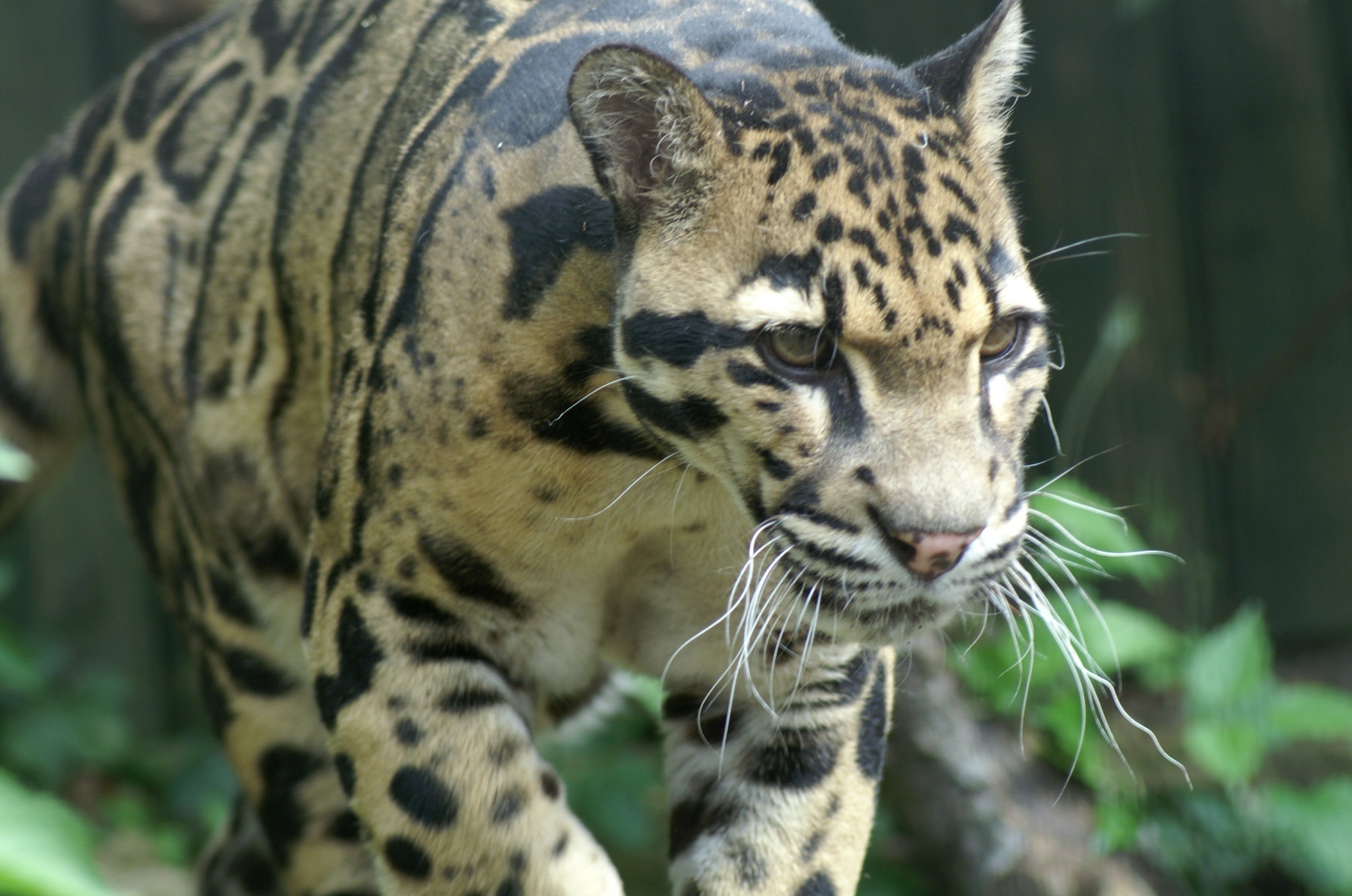 wild animal, clouded leopard