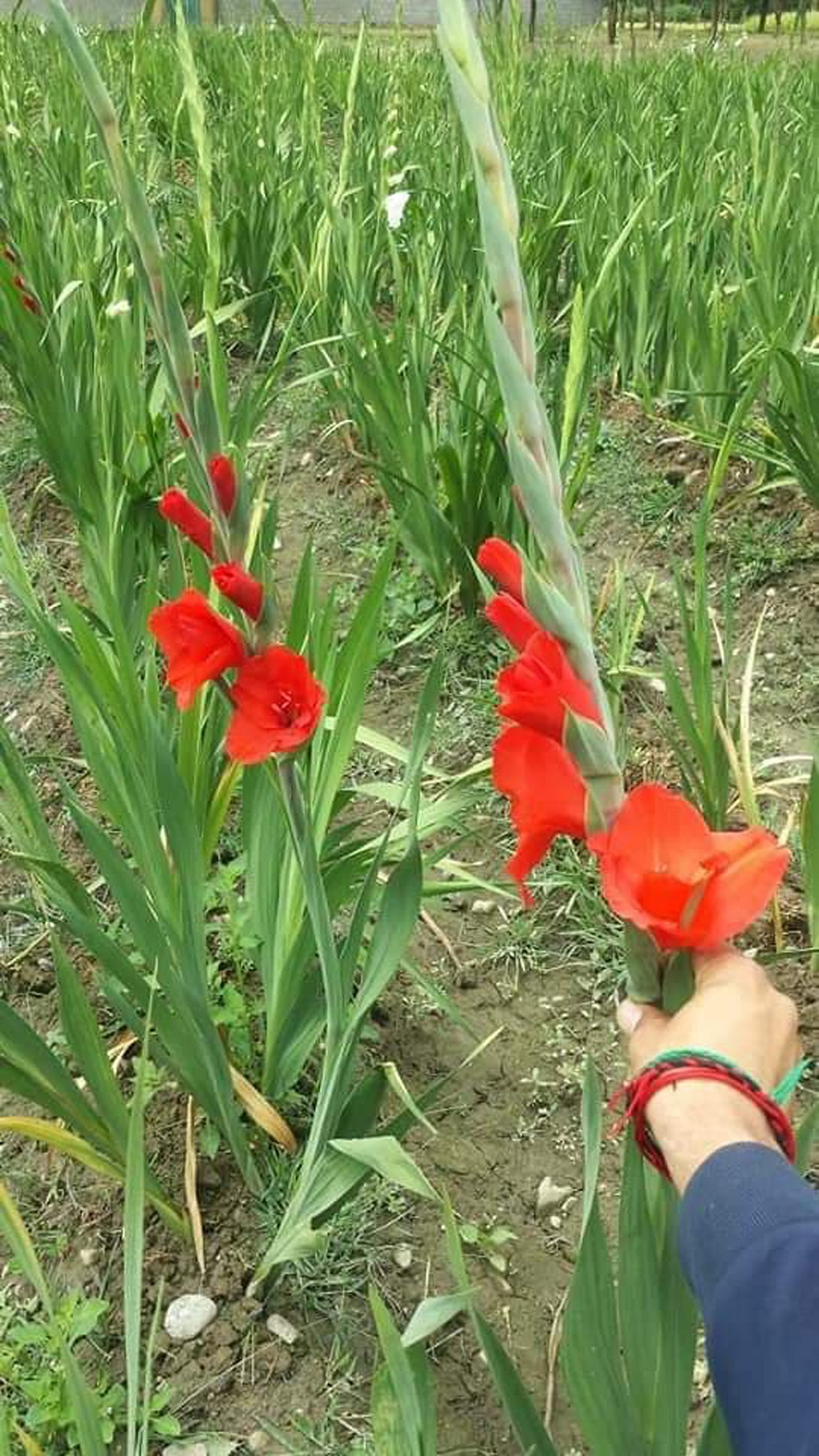 Gladiolus flower field near Shiger [image by: Ghulam Mohiuddin]