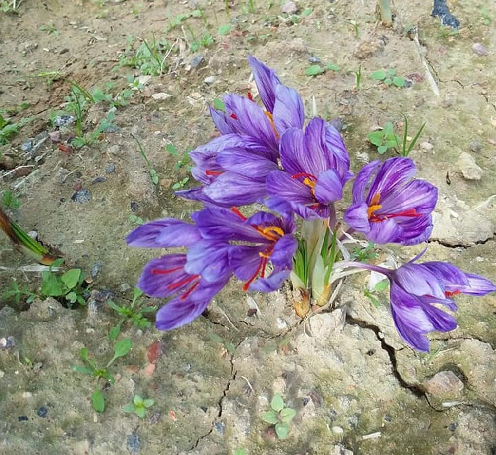 Saffron flower in bloom