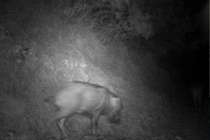 A picture of a wild boar captured on camera traps installed by WWF-Pakistan to monitor movement of leopards in Galliyat [image courtesy: WWF-Pakistan]