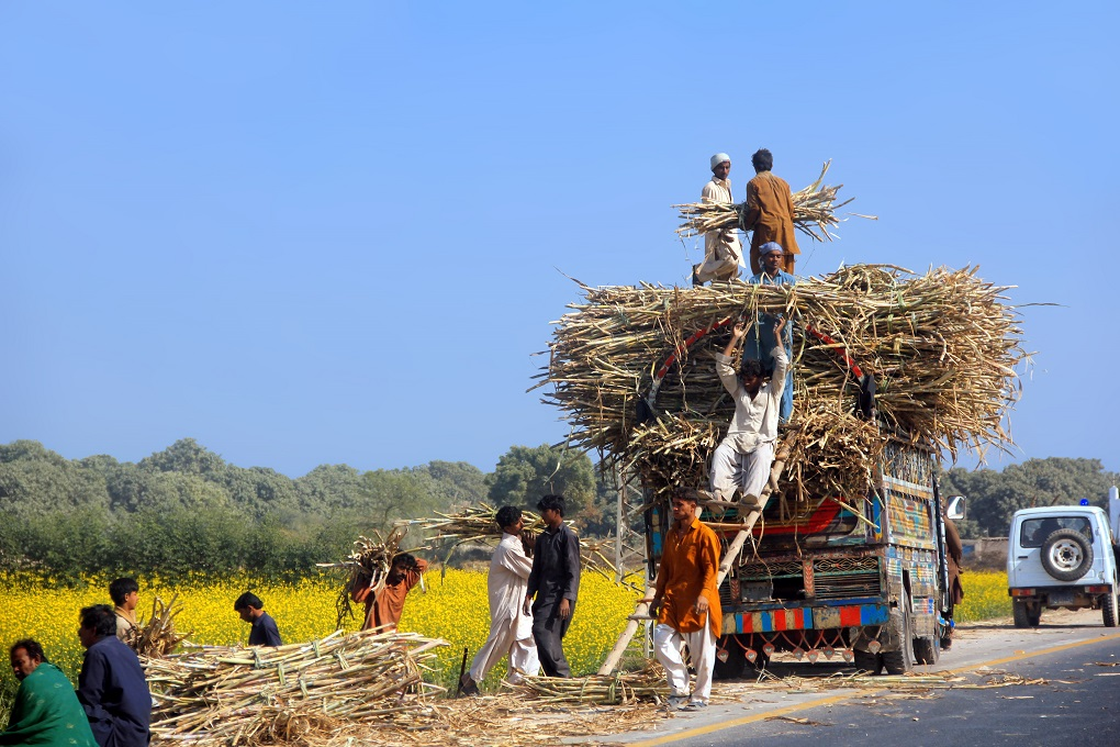 workers loading a truck with sugarcane. Sugarcane keeps widening its ambit, even in water-scarce regions like Sindh's Thar areas [image by: Tahir Saleem]