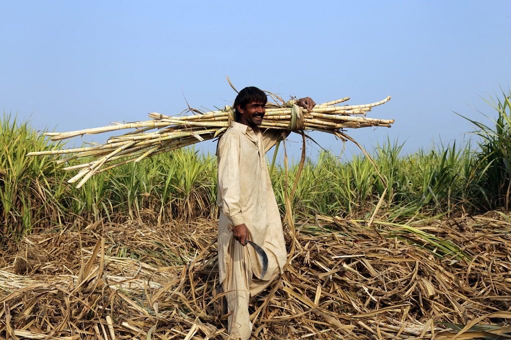 Farmers will plant what sells well; Dadu Singh with his sugarcane crop [image by: Tahir Saleem]