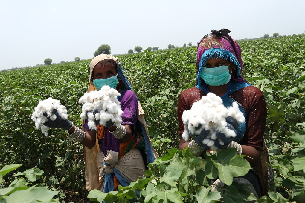 """Two women holding cotton collected from the crop field. """"Cotton is one crop that is only picked by women, so [a reduction] will bring down the prospect of work for women. It's an opportunity that has been taken away from them,"""" said Rabia Sultan [image courtesy: CABI]"""
