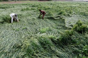 File picture of a farmer in the Indian state of Punjab struggling to save his crops in March after unseasonal reains [image © Ajay Verma/Pacific Press/Alamy Live News]