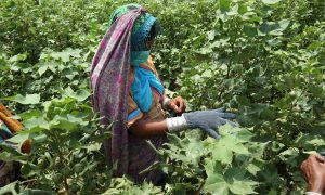 Due to lack of investment, research and helpful policies, cotton is making way for sugarcane in Pakistan [image courtesy: CABI]