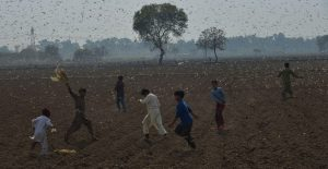Desert locusts attack crops near Okara district, Pakistan
