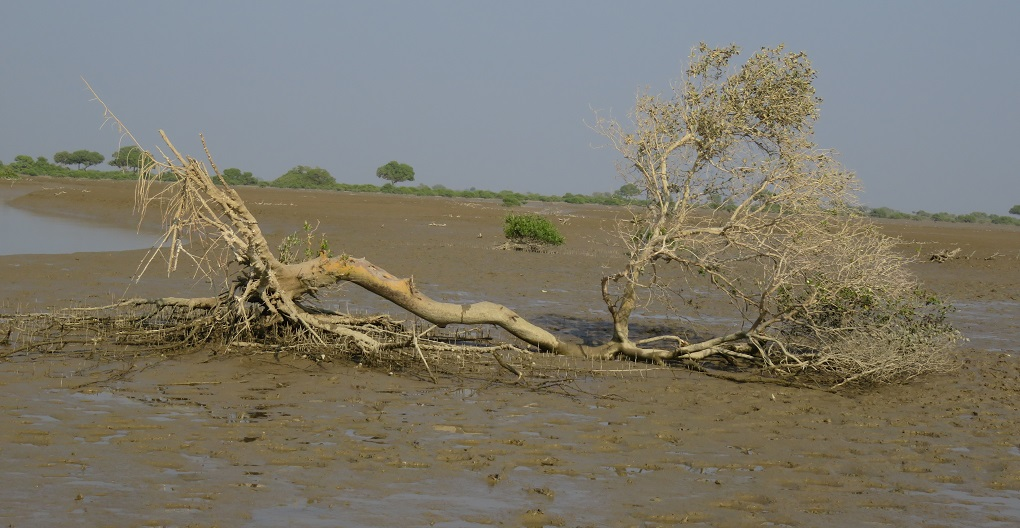 Floodplains covered by mangroves are fast disappearing [image by: Altaf Siyal]