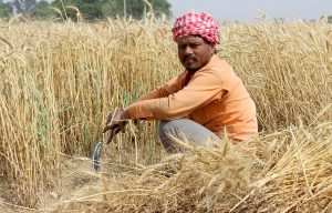 In India, a lot of the winter wheat crop had to be harvested by hand because farmers found it almost impossible to rent harvester combines during the lockdown forced by the Covid-19 pandemic [Image by: Pixabay]