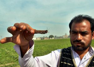 A farmer displaying a locust in Okara district in eastern Pakistan's Punjab province. Locust attack on crops incurred heavy financial losses to farmers in some areas of the country [image:  Str/Xinhua/Alamy Live News]