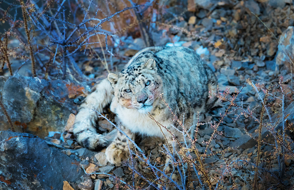 The endangered snow leopard, Himalayas [image by: Himachal Pradesh Wildlife Department]