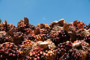 Oil palm fruit Kerala, India. Indiascapes/Alamy