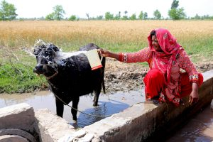 farmer woman washing her cow in the christian dominated village of Khushpur, Pujab Province, Pakistan