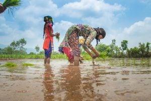 rice farmers india
