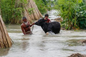 A family in Madaripur district lead their livestock as they leave their flooded home