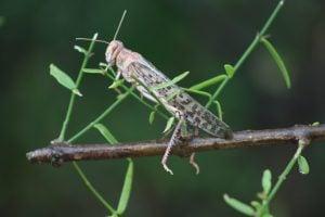A locust in the Thar desert [Image by: Ravi Tohani]