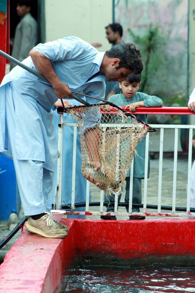 مچھلی کے فارم کا مالک ایک مچھلی پکڑ رہا ہے تاکہ یہ دکھا سکے کہ کس طرح اسٹاک پوری طرح سے تیار ہے اور اسکا وزن بڑھتا جا رہا ہے (تصویر بشکریہ محمّد عثمان )