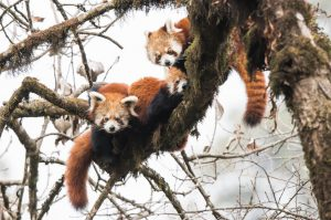 four red pandas sitting on a tree branch