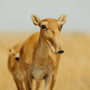 The floppy nosed saiga antelope's population doubled in Kazakhstan and Russia in 2019 [image courtesy: Okhotzooprom, 2020]