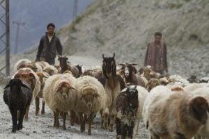 Bakarwal sheep goats, WWF
