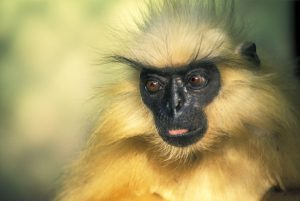 The golden langur is one of the world's most endangered primates and is only found in Bhutan and Assam in north-east India [image by: Neeraj Mishra/Alamy]