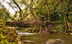 Bridges made of living roots in the biodiversity hotspots of northeast India are good examples of nature-friendly traditions [Image by: Alamy]