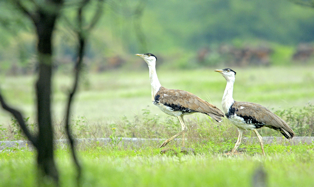Great Indian Bustard. Loss of habitat and ecosystem pressures have brought the species to the brink of extinction [image by: Alamy]