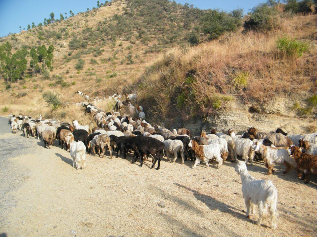 herd of goats Bakarwal
