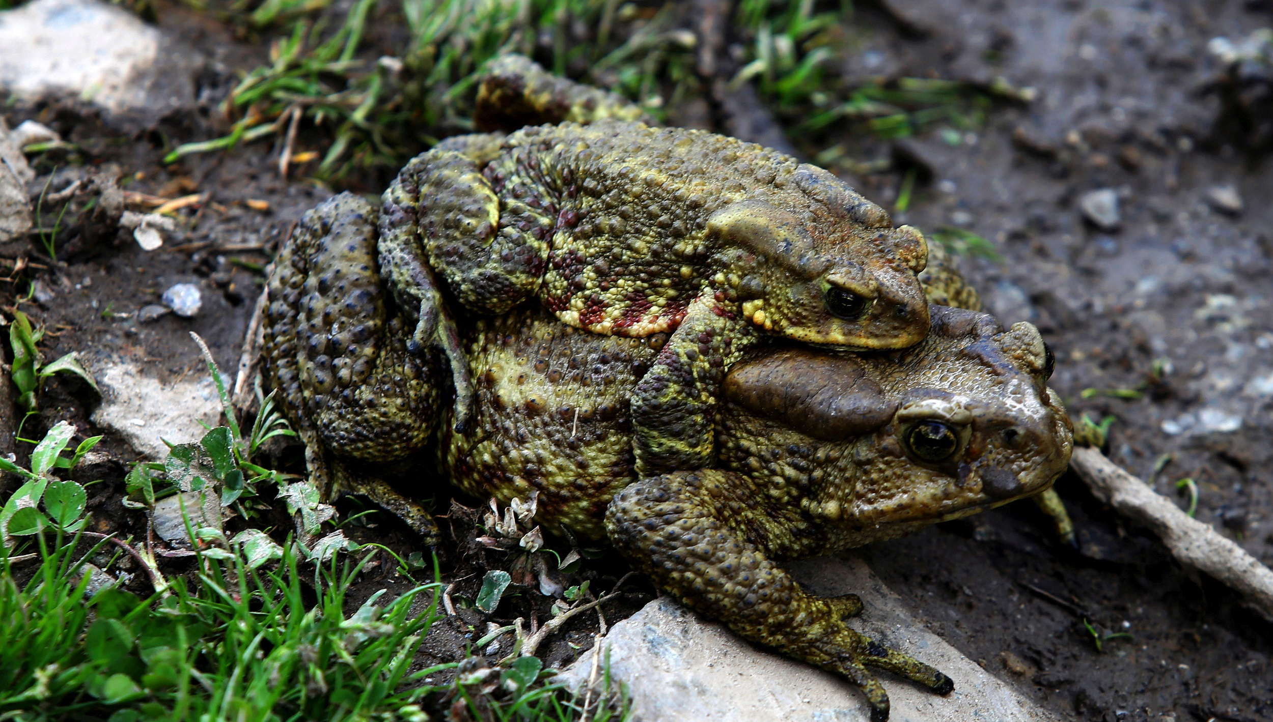 Two mating frogs in Langtang National Park at Dhunche in Rasuwa district of Nepal. Frogs mate during the monsoon season [image by: Sunil Sharma/ZUMA Wire/Alamy Live News]