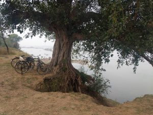 Erosion by the Betwa river endangers a tree