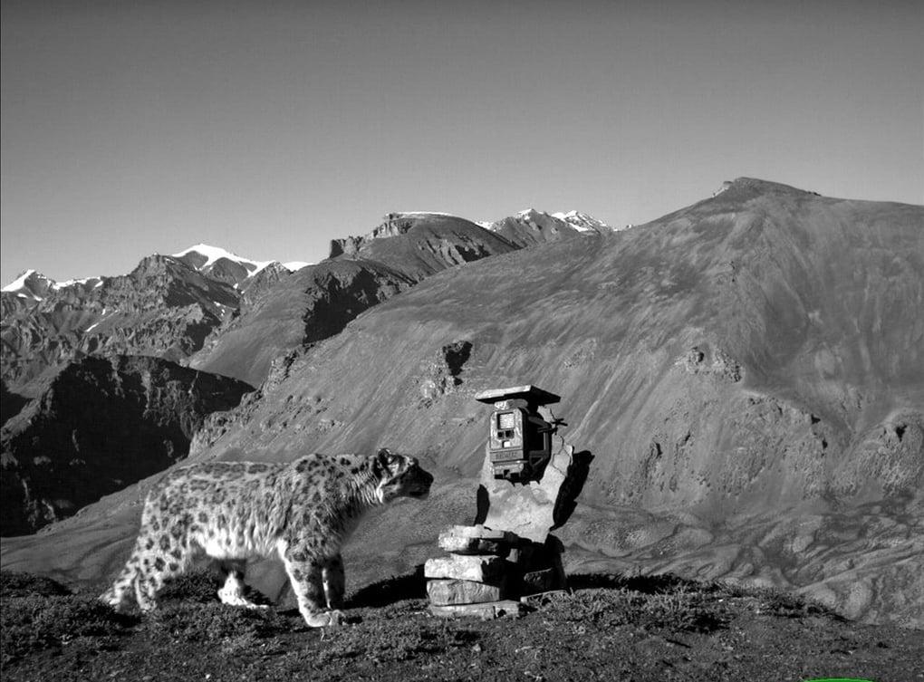 A snow leopard checks out a camera trap