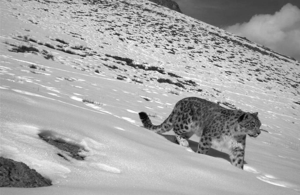 बर्फ की मोटी चादर के बीच टहलता हिम तेंदुआ[तस्वीर क्रेडिट: ऋषि कुमार शर्मा]