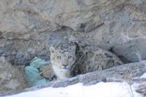 A snow leopard in Uttarakhand [Image by: Sonu Negi]