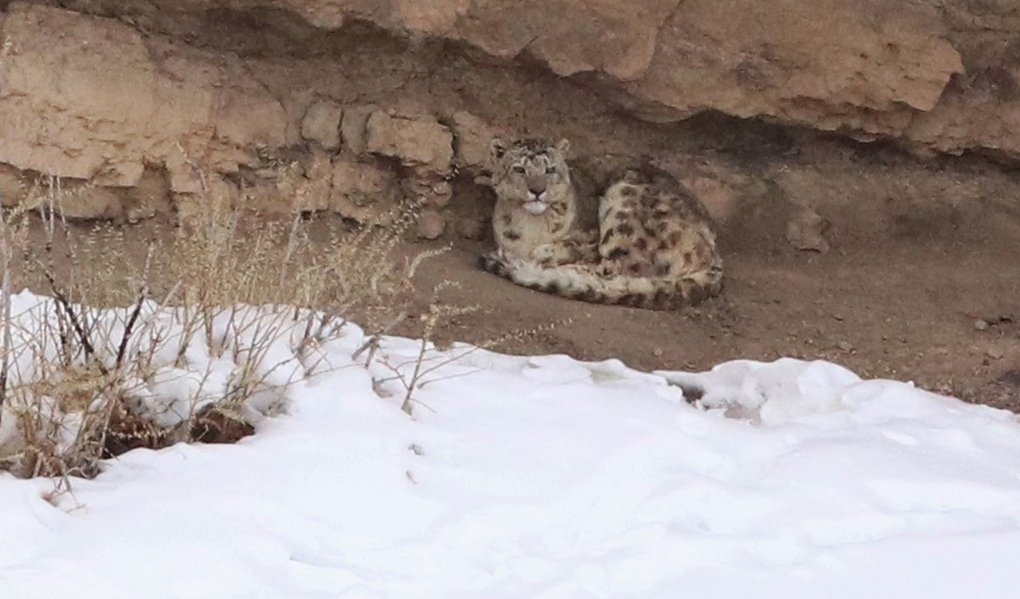 A snow leopard shelters below a cliff overhang