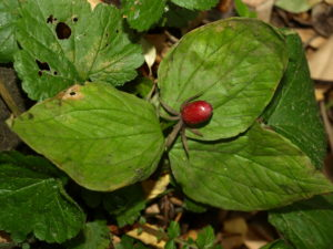 Trillium, an important medicinal plant, is becoming increasingly hard to find in Kashmir [image courtesy: Akhtar H Malik, Kashmir University]