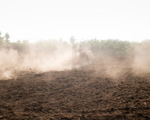 Official figures state around 73.5% of the Madhupur Saal Forest land had been converted to different commercial purposes. The lucrative profit of mono-crop cultivation has led people to clear forest lands for banana and pineapple cultivation [image by: Prakash Bhuyan]