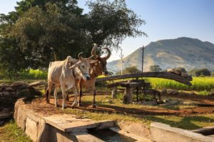 Indian cattle driving a water pump in rural Rajasthan, India [image: Alamy]