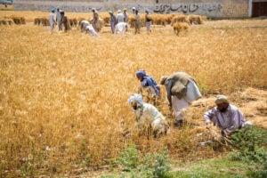 Harvest Pakistan, dbimages / Alamy