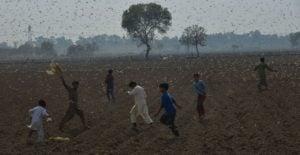 Desert locusts attack crops near Okara district, Pakistan. (Photo: Pacific Press Agency/Alamy)