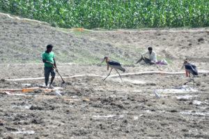 Greater Adjutant Storks among the farms in Bhagalpur, Bihar [Image by: Mohd Imran Khan]