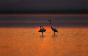 two flamingos at dusk Uchhali wetlands