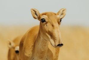 Saiga antelope central asia saiga