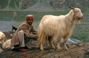 A Gaddi milks a goat in Chamba valley, Himachal Pradesh [Image by: Alamy]