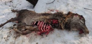 The carcass of the Hangul found in Pehlipora area within the Dachigam Wildlife Sanctuary on January 17