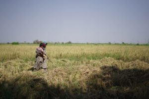 Woman farmer carrying her child while cutting rice crops from the field, in village Qasim Solangi, Hyderabad [image by: Manoj Genani]