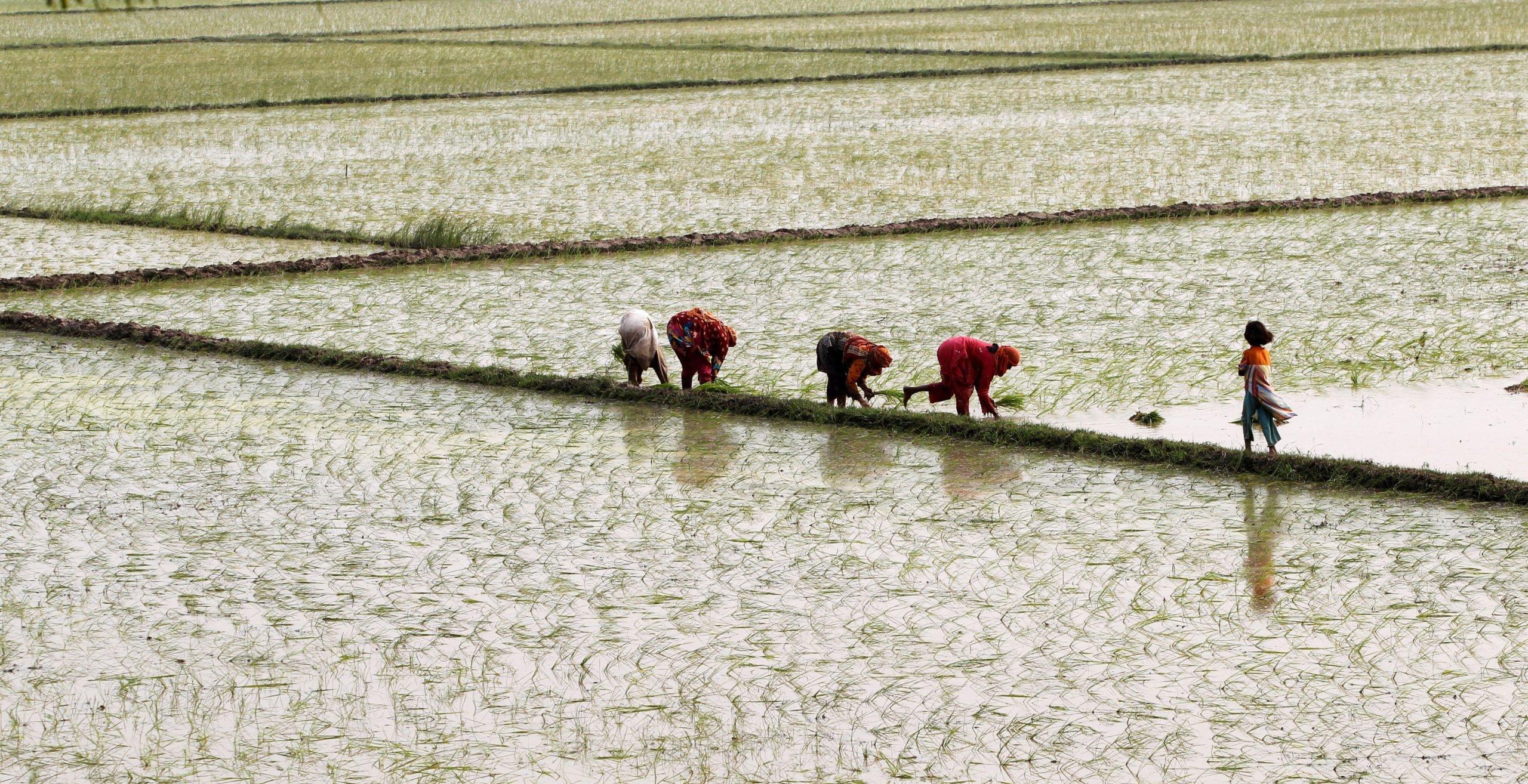 Women plant rice in a field outside Lahore, Pakistan, Caren Firouz